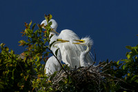 Egret and Babies 2