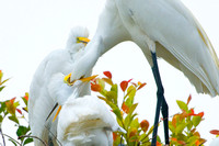 Egrets and Babies 3